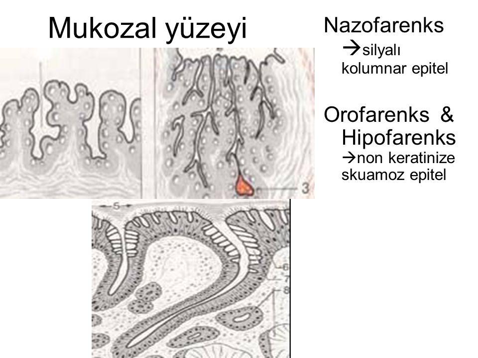 Mukozal yüzeyi Nazofarenks  silyalı kolumnar epitel Orofarenks & Hipofarenks  non keratinize skuamoz epitel