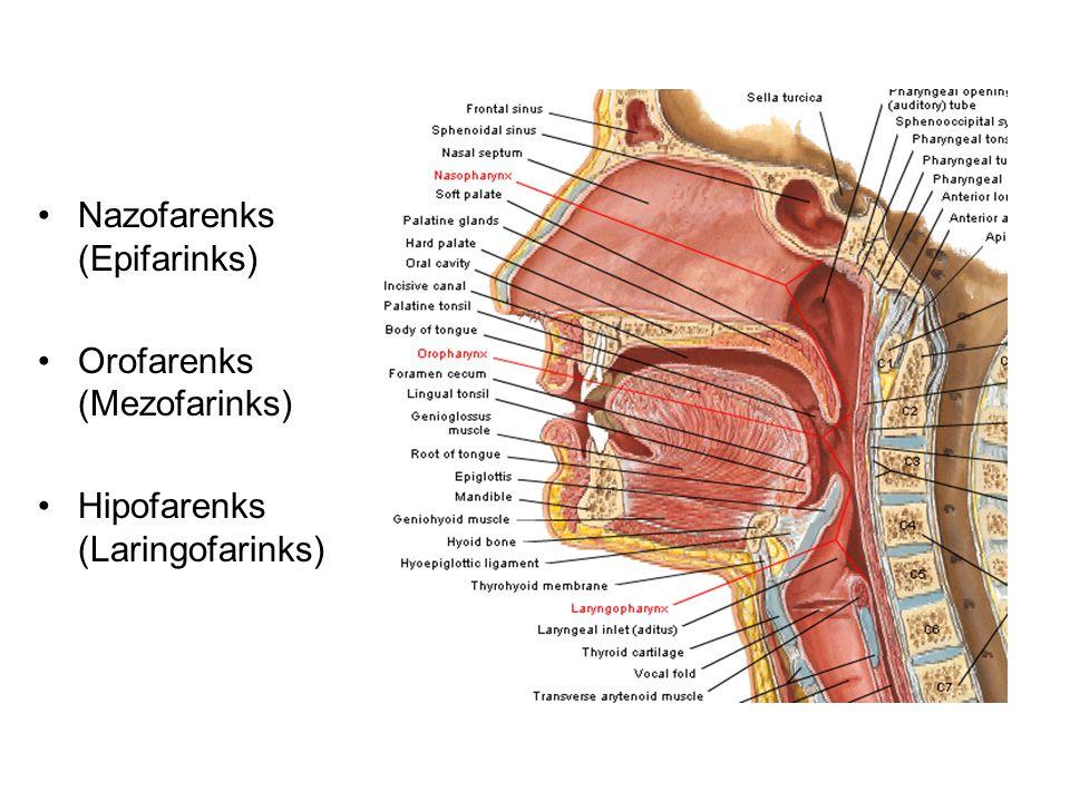 Nazofarenks (Epifarinks) Orofarenks (Mezofarinks) Hipofarenks (Laringofarinks)