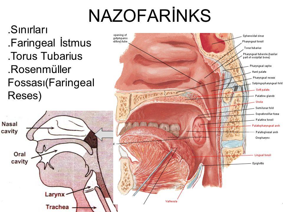 Konkanın posterior ucu vomerin posterior ucu Torus tubarius farengeal reses ÖSTAKİ TÜPÜ FARENGEAL RESES
