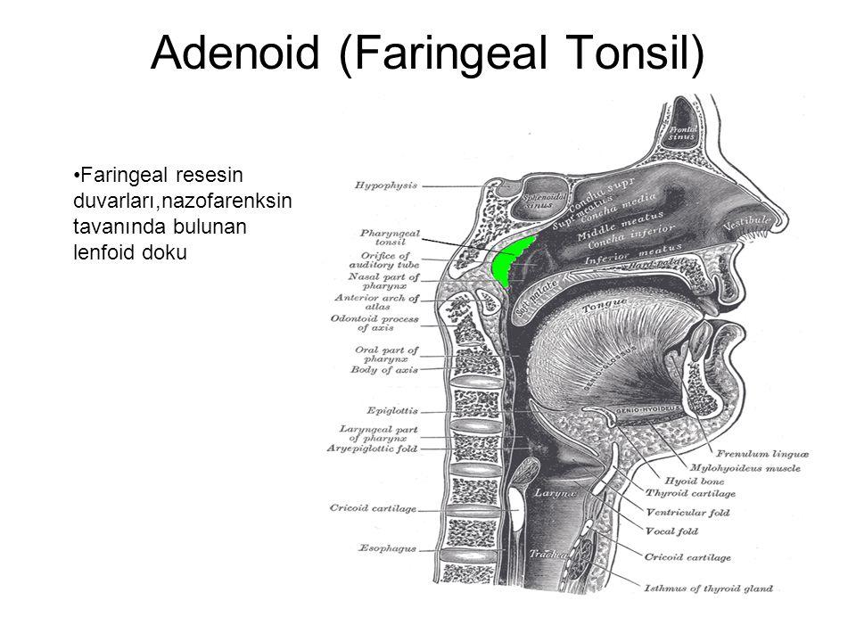 Adenoid (Faringeal Tonsil) Faringeal resesin duvarları,nazofarenksin tavanında bulunan lenfoid doku