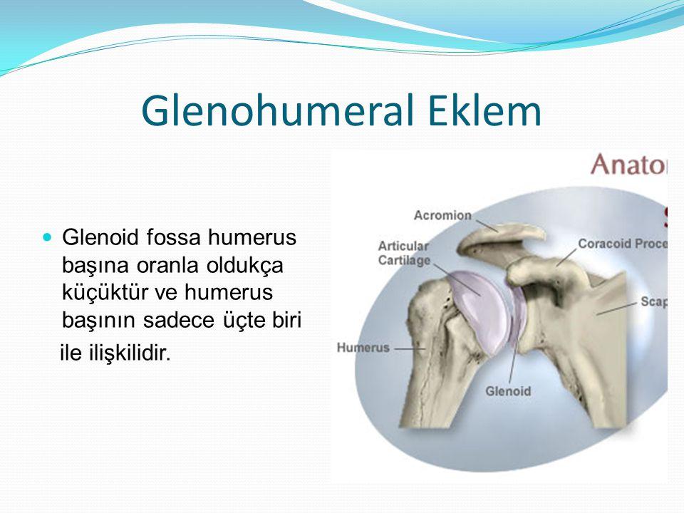Glenohumeral Eklem Glenoid fossa humerus başına oranla oldukça küçüktür ve humerus başının sadece üçte biri ile ilişkilidir.