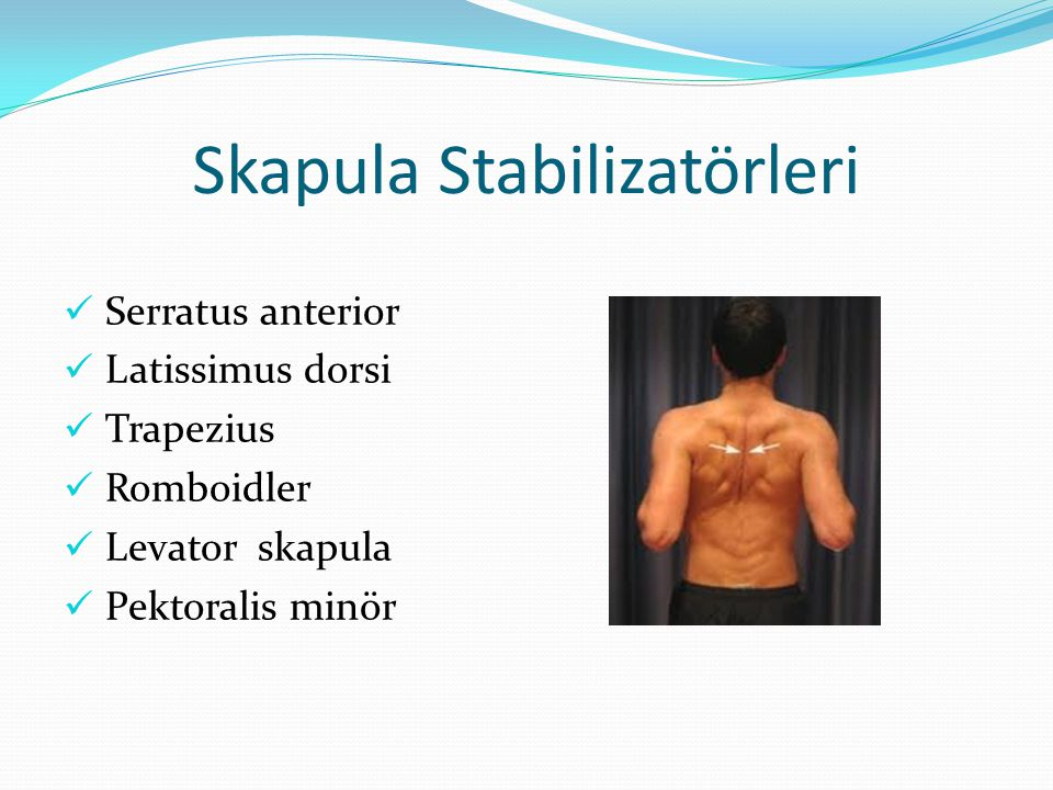 Skapula Stabilizatörleri Serratus anterior Latissimus dorsi Trapezius Romboidler Levator skapula Pektoralis minör