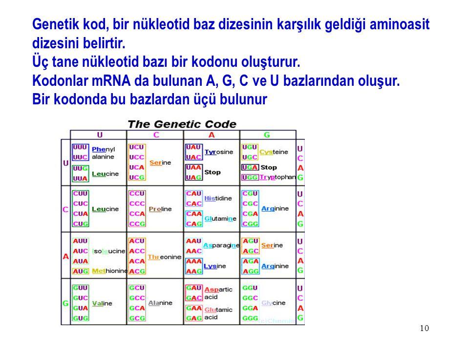 10 Genetik kod, bir nükleotid baz dizesinin karşılık geldiği aminoasit dizesini belirtir. Üç tane nükleotid bazı bir kodonu oluşturur. Kodonlar mRNA d