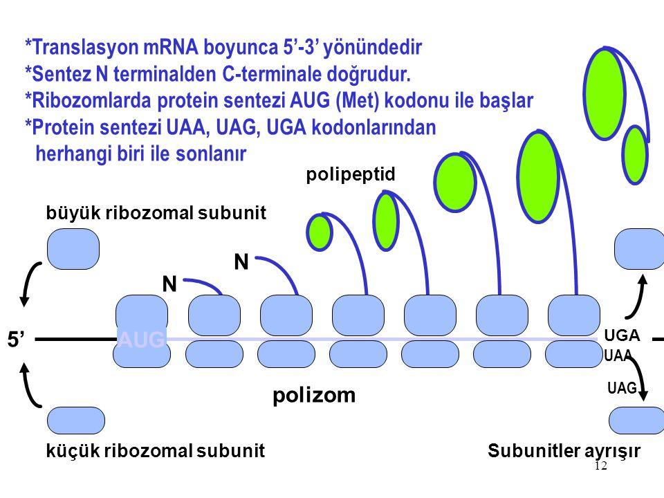 12 *Translasyon mRNA boyunca 5'-3' yönündedir *Sentez N terminalden C-terminale doğrudur. *Ribozomlarda protein sentezi AUG (Met) kodonu ile başlar *P