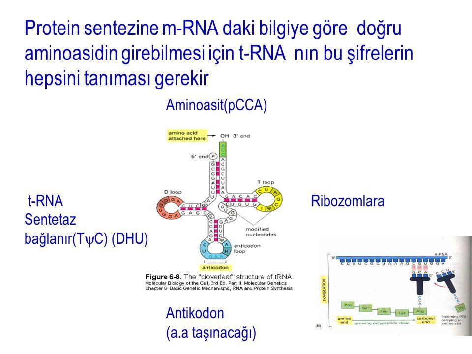 13 Protein sentezine m-RNA daki bilgiye göre doğru aminoasidin girebilmesi için t-RNA nın bu şifrelerin hepsini tanıması gerekir Aminoasit(pCCA) t-RNA