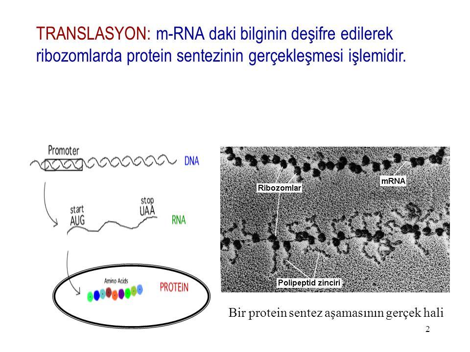 2 TRANSLASYON: m-RNA daki bilginin deşifre edilerek ribozomlarda protein sentezinin gerçekleşmesi işlemidir. Bir protein sentez aşamasının gerçek hali