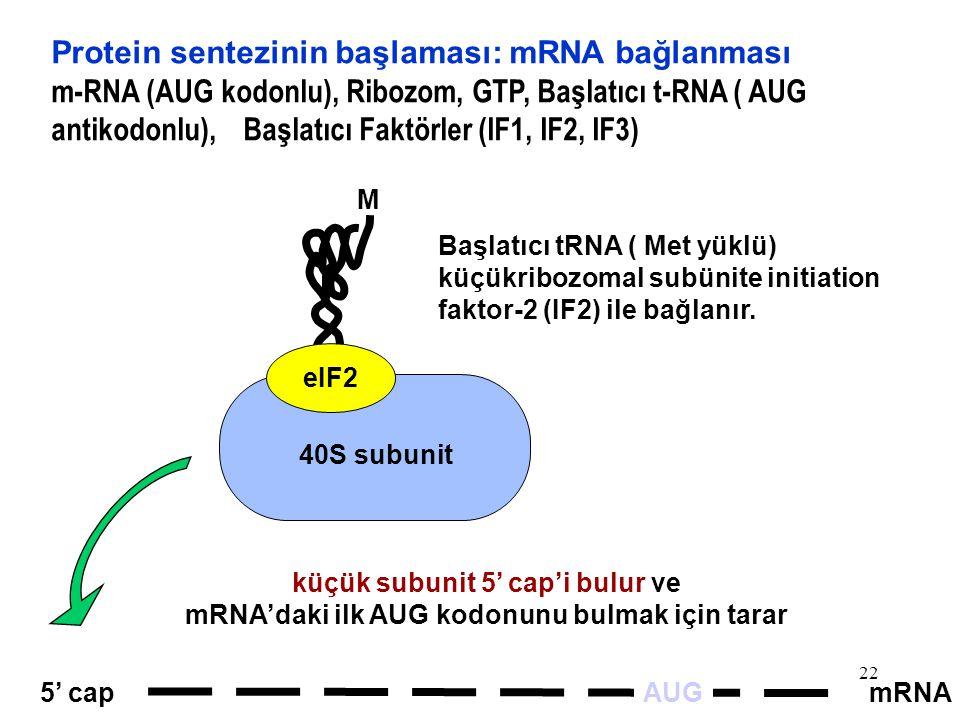 22 mRNA5' cap 40S subunit M eIF2 AUG Başlatıcı tRNA ( Met yüklü) küçükribozomal subünite initiation faktor-2 (IF2) ile bağlanır. Protein sentezinin ba