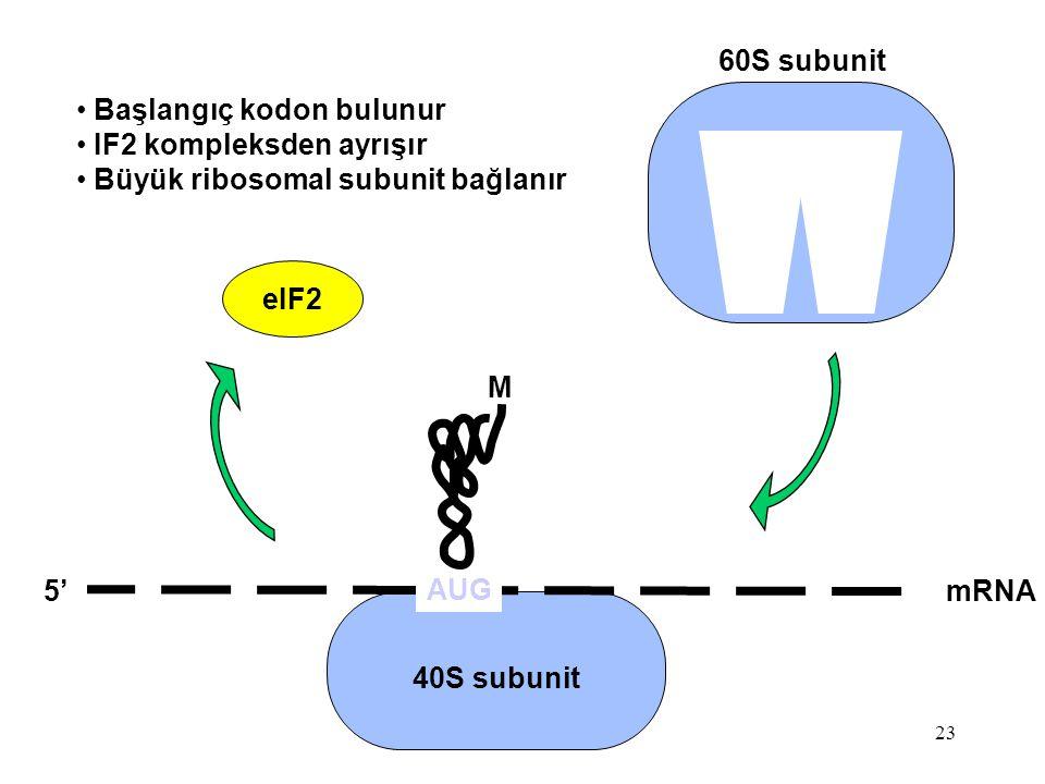 23 mRNA5' 40S subunit M eIF2 AUG Başlangıç kodon bulunur IF2 kompleksden ayrışır Büyük ribosomal subunit bağlanır 60S subunit
