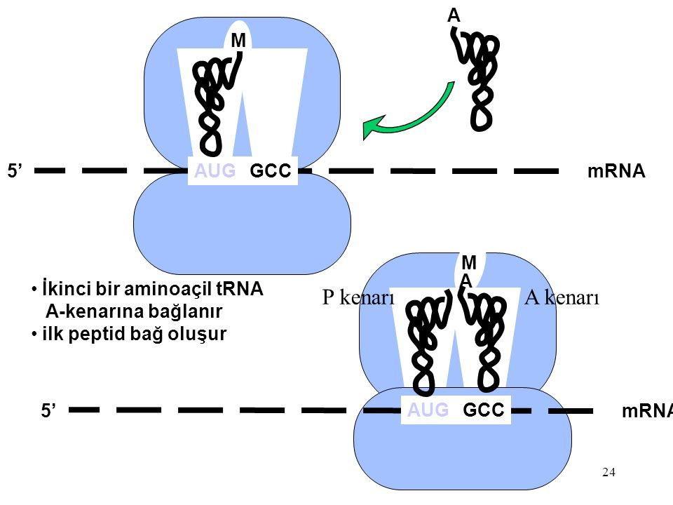 24 mRNA5' M AUG İkinci bir aminoaçil tRNA A-kenarına bağlanır ilk peptid bağ oluşur GCC A mRNA5' M AUGGCC A P kenarıA kenarı