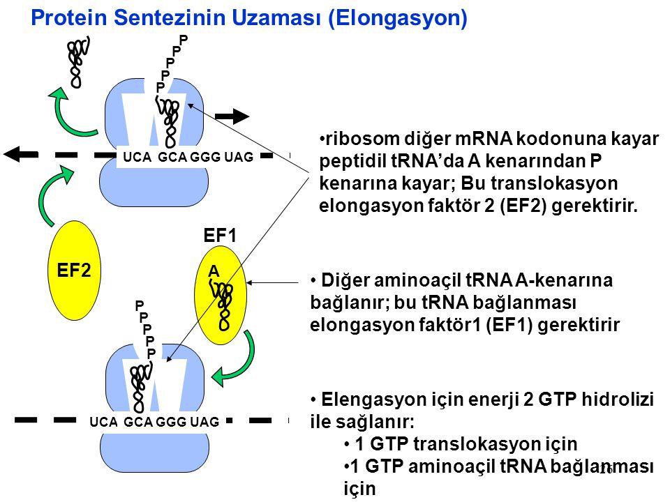 26 P UCA P P P P P GCA GGG UAG A P P P P Protein Sentezinin Uzaması (Elongasyon) GCA GGG UAG ribosom diğer mRNA kodonuna kayar peptidil tRNA'da A kena