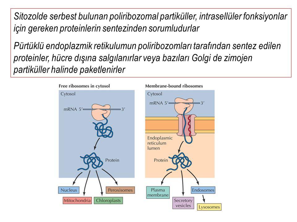 Sitozolde serbest bulunan poliribozomal partiküller, intrasellüler fonksiyonlar için gereken proteinlerin sentezinden sorumludurlar Pürtüklü endoplazm