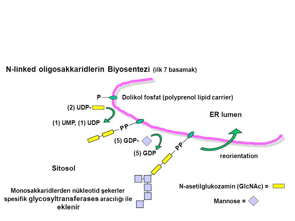 N-linked oligosakkaridlerin Biyosentezi (ilk 7 basamak) ER lumen Sitosol P (1) UMP, (1) UDP Dolikol fosfat (polyprenol lipid carrier) N-asetilglukozam