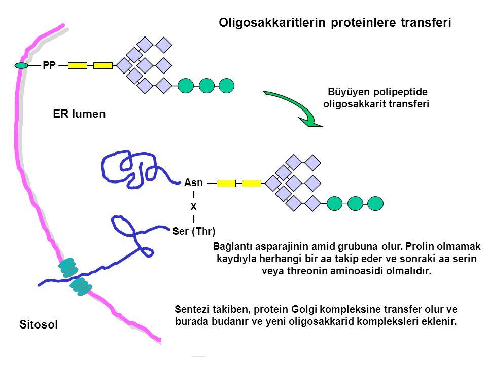 ER lumen Sitosol PP Bağlantı asparajinin amid grubuna olur. Prolin olmamak kaydıyla herhangi bir aa takip eder ve sonraki aa serin veya threonin amino