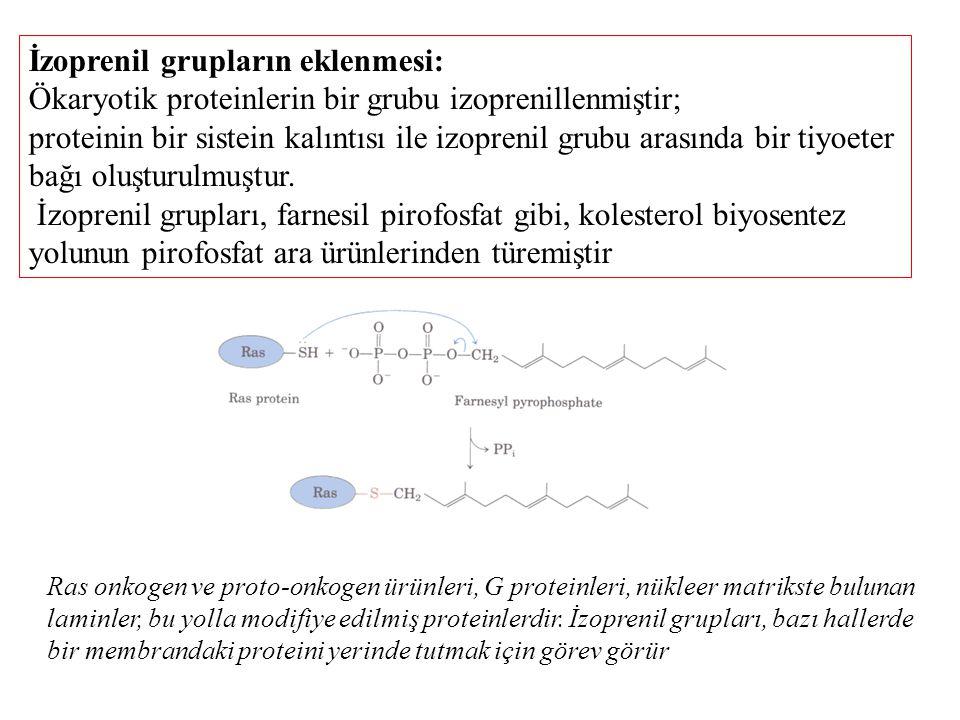 İzoprenil grupların eklenmesi: Ökaryotik proteinlerin bir grubu izoprenillenmiştir; proteinin bir sistein kalıntısı ile izoprenil grubu arasında bir t