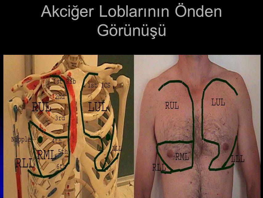 Akciğer Loblarının Önden Görünüşü