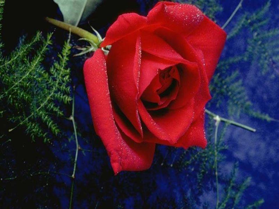 Ey hüsnün, çilenin sabrın sesi Sıcak çöllerin ılık nefesi Efendiler birer gül Sen güllerin efendisi