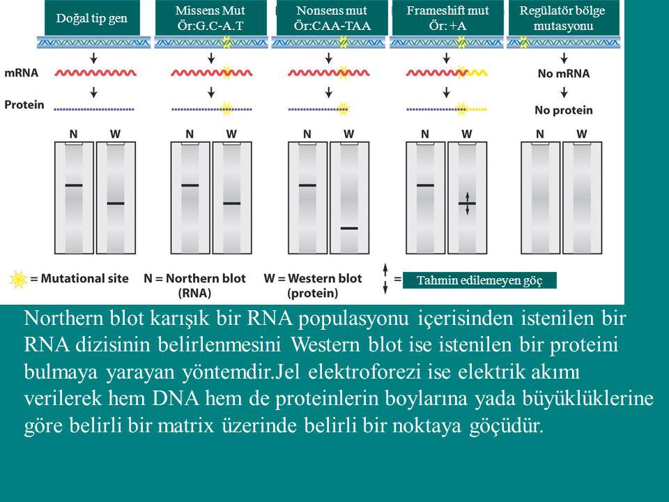Northern blot karışık bir RNA populasyonu içerisinden istenilen bir RNA dizisinin belirlenmesini Western blot ise istenilen bir proteini bulmaya yaray