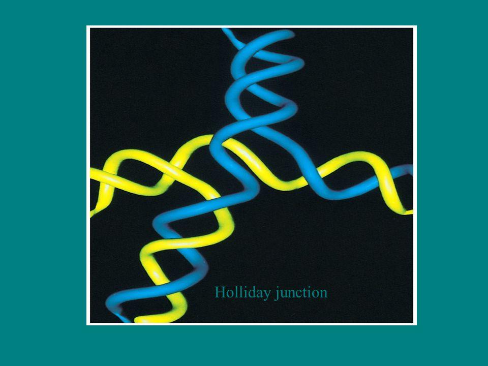 Nokta Mutasyon Tipleri II Protein düzeyinde Sinonim mutasyonlar (Silent-sessiz mutasyon) –Kodon aynı aa belirler –AGG (Arg)-CGG(Arg) Missens mutasyon (non sinonim mutasyon) –Konservatif missense mutasyon –Kodon farklı ancak kimyasal olarak benzer aa belirler AAA(Lys-bazik)-AGA (Arg-bazik) –Nonkonservatif missense mutasyon Protein işlevini değiştirmez ve kimyasal yapısı farklı aa belirler UUU(hidrofobik fenilalanin)-UCU(polar serin) Nonsens mutasyon –Stop kodon oluşur Frameshift mutasyon –Bir baz çifti eklenmesi AAG ACT CCT-AAG AGC TCC T… –Bir baz çifti delesyonu AAG ACT CCT-AAA CTC CT…