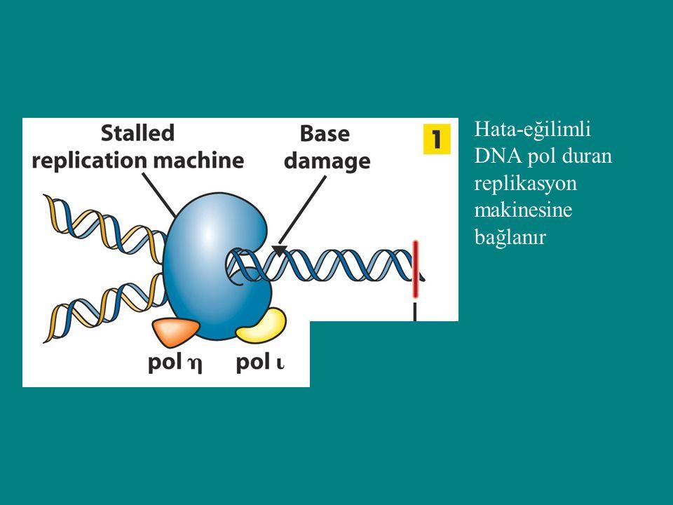 Hata-eğilimli DNA pol duran replikasyon makinesine bağlanır