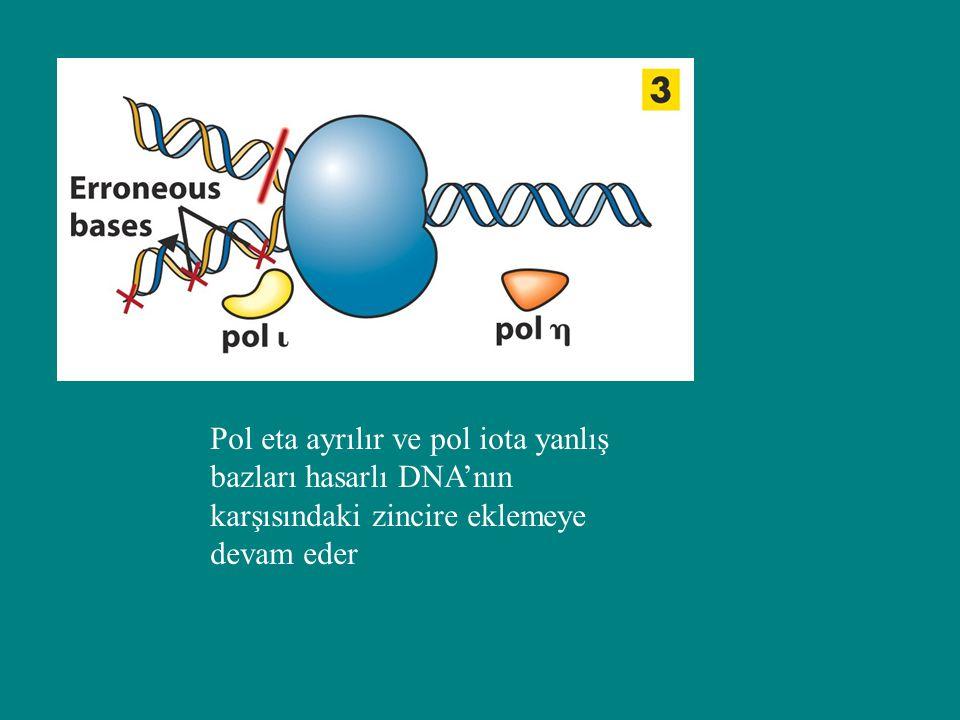 Pol eta ayrılır ve pol iota yanlış bazları hasarlı DNA'nın karşısındaki zincire eklemeye devam eder