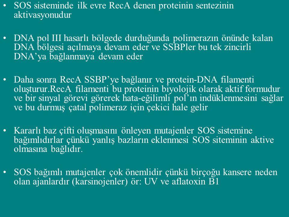 SOS sisteminde ilk evre RecA denen proteinin sentezinin aktivasyonudur DNA pol III hasarlı bölgede durduğunda polimerazın önünde kalan DNA bölgesi açı