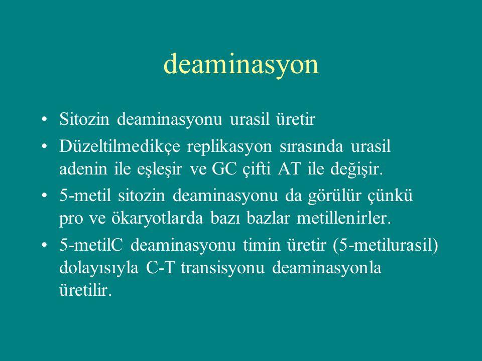 deaminasyon Sitozin deaminasyonu urasil üretir Düzeltilmedikçe replikasyon sırasında urasil adenin ile eşleşir ve GC çifti AT ile değişir. 5-metil sit