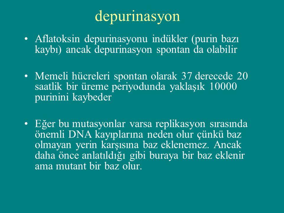 depurinasyon Aflatoksin depurinasyonu indükler (purin bazı kaybı) ancak depurinasyon spontan da olabilir Memeli hücreleri spontan olarak 37 derecede 2