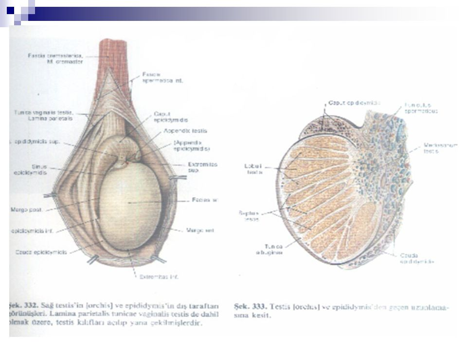  Testis arterleri, aorttan renal arterlerin altından çıkar.