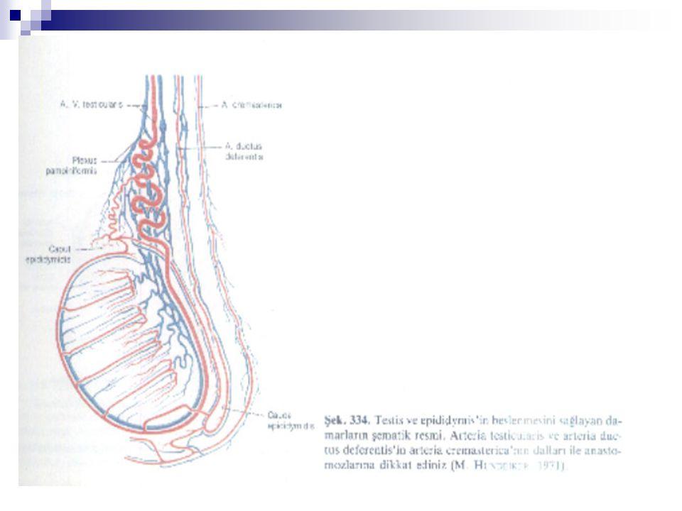  Testisin lenfatikleri testisin hilumundan başlayarak, testiküler venlerin seyri boyunca spermatik korda eşlik eder ve yukarıda internel inguinal halkaya ulaşır.