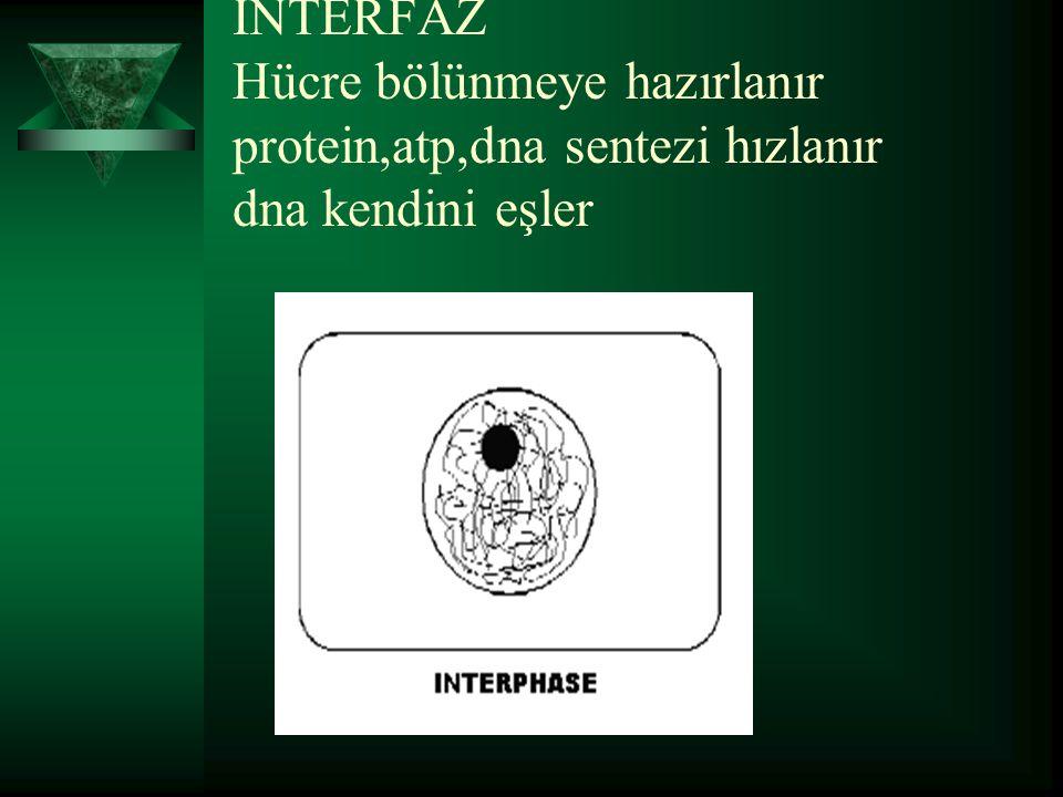 İNTERFAZ Hücre bölünmeye hazırlanır protein,atp,dna sentezi hızlanır dna kendini eşler