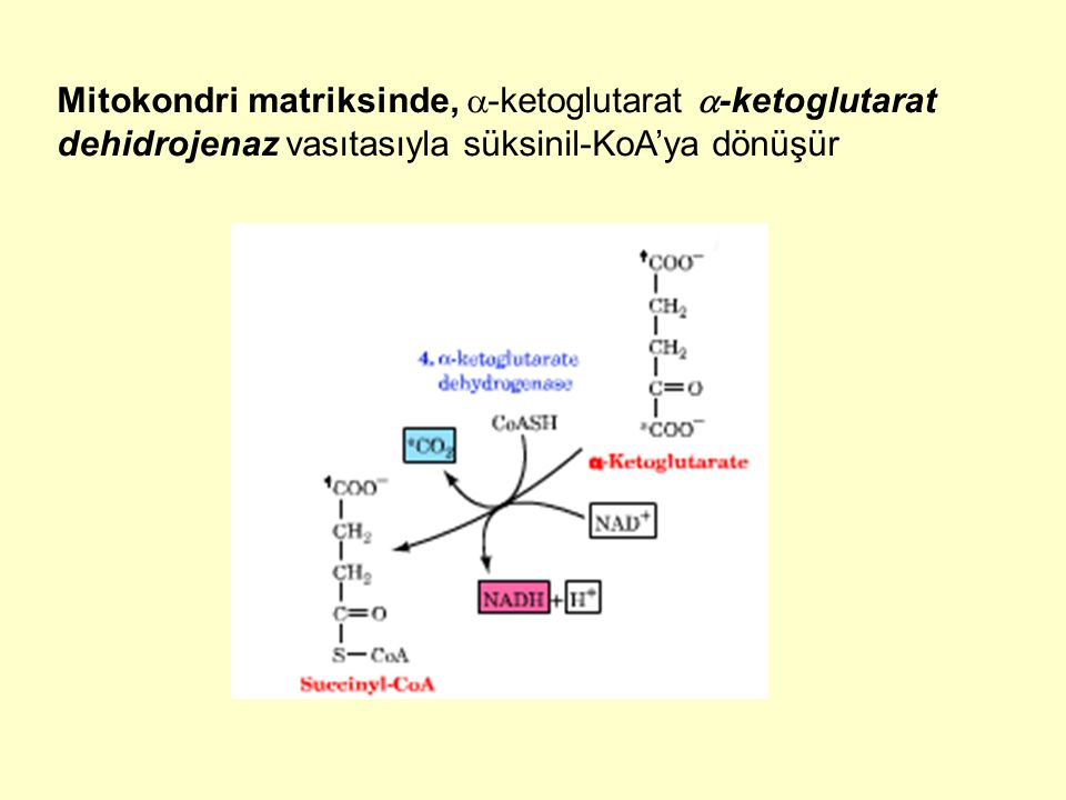 Mitokondri matriksinde,  -ketoglutarat  -ketoglutarat dehidrojenaz vasıtasıyla süksinil-KoA'ya dönüşür