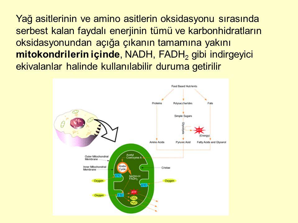 Yağ asitlerinin ve amino asitlerin oksidasyonu sırasında serbest kalan faydalı enerjinin tümü ve karbonhidratların oksidasyonundan açığa çıkanın tamam