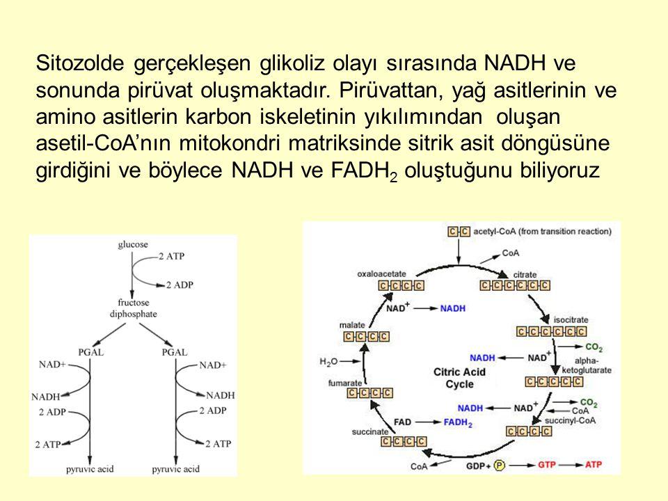 Sitozolde gerçekleşen glikoliz olayı sırasında NADH ve sonunda pirüvat oluşmaktadır. Pirüvattan, yağ asitlerinin ve amino asitlerin karbon iskeletinin
