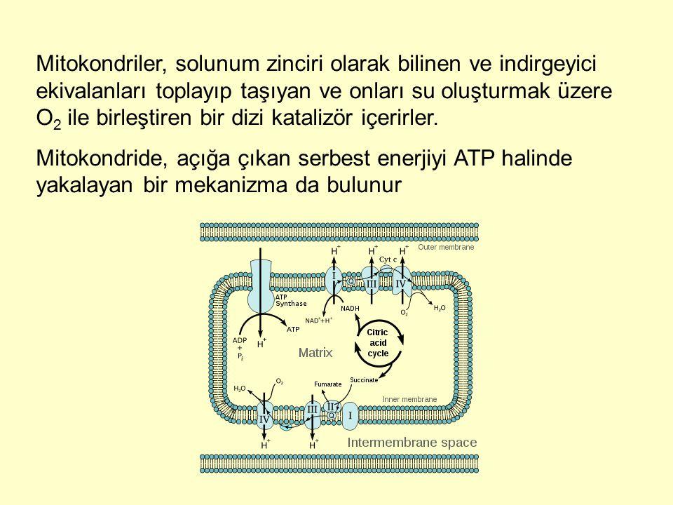 Mitokondriler, solunum zinciri olarak bilinen ve indirgeyici ekivalanları toplayıp taşıyan ve onları su oluşturmak üzere O 2 ile birleştiren bir dizi
