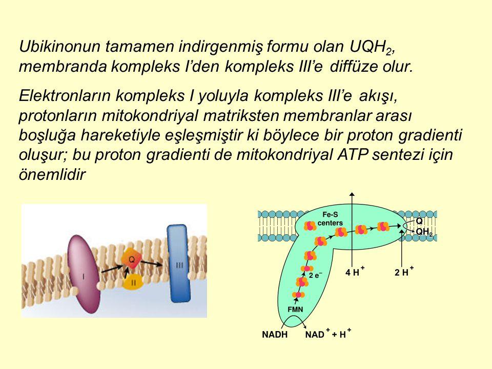 Ubikinonun tamamen indirgenmiş formu olan UQH 2, membranda kompleks I'den kompleks III'e diffüze olur. Elektronların kompleks I yoluyla kompleks III'e