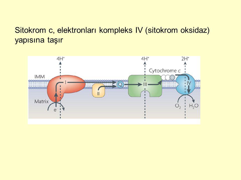 Sitokrom c, elektronları kompleks IV (sitokrom oksidaz) yapısına taşır