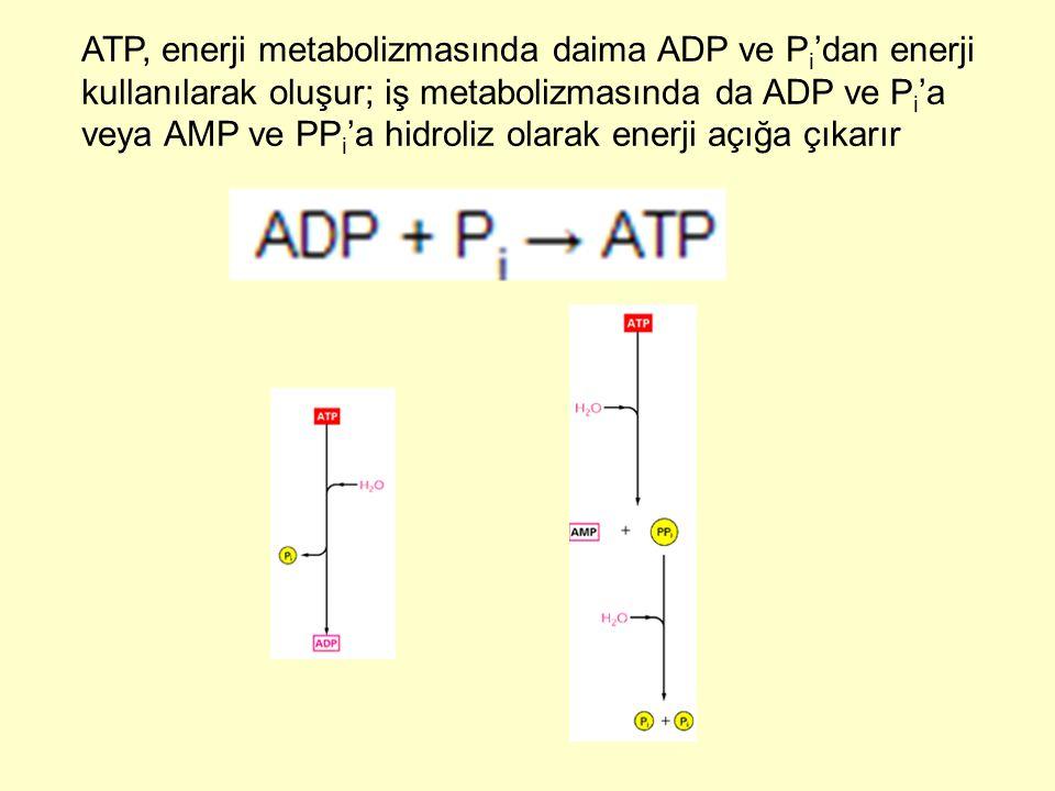 ATP, enerji metabolizmasında daima ADP ve P i 'dan enerji kullanılarak oluşur; iş metabolizmasında da ADP ve P i 'a veya AMP ve PP i 'a hidroliz olara