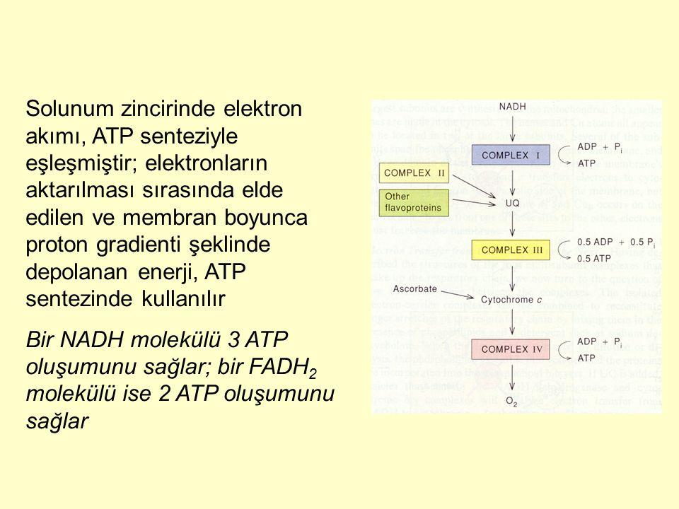 Solunum zincirinde elektron akımı, ATP senteziyle eşleşmiştir; elektronların aktarılması sırasında elde edilen ve membran boyunca proton gradienti şek