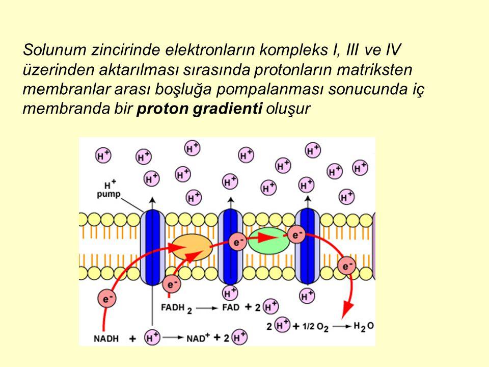 Solunum zincirinde elektronların kompleks I, III ve IV üzerinden aktarılması sırasında protonların matriksten membranlar arası boşluğa pompalanması so