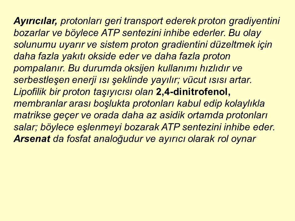 Ayırıcılar, protonları geri transport ederek proton gradiyentini bozarlar ve böylece ATP sentezini inhibe ederler. Bu olay solunumu uyarır ve sistem p