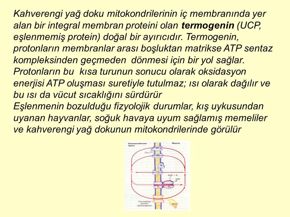 Kahverengi yağ doku mitokondrilerinin iç membranında yer alan bir integral membran proteini olan termogenin (UCP, eşlenmemiş protein) doğal bir ayırıc
