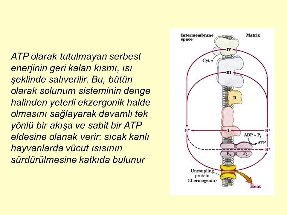 ATP olarak tutulmayan serbest enerjinin geri kalan kısmı, ısı şeklinde salıverilir. Bu, bütün olarak solunum sisteminin denge halinden yeterli ekzergo