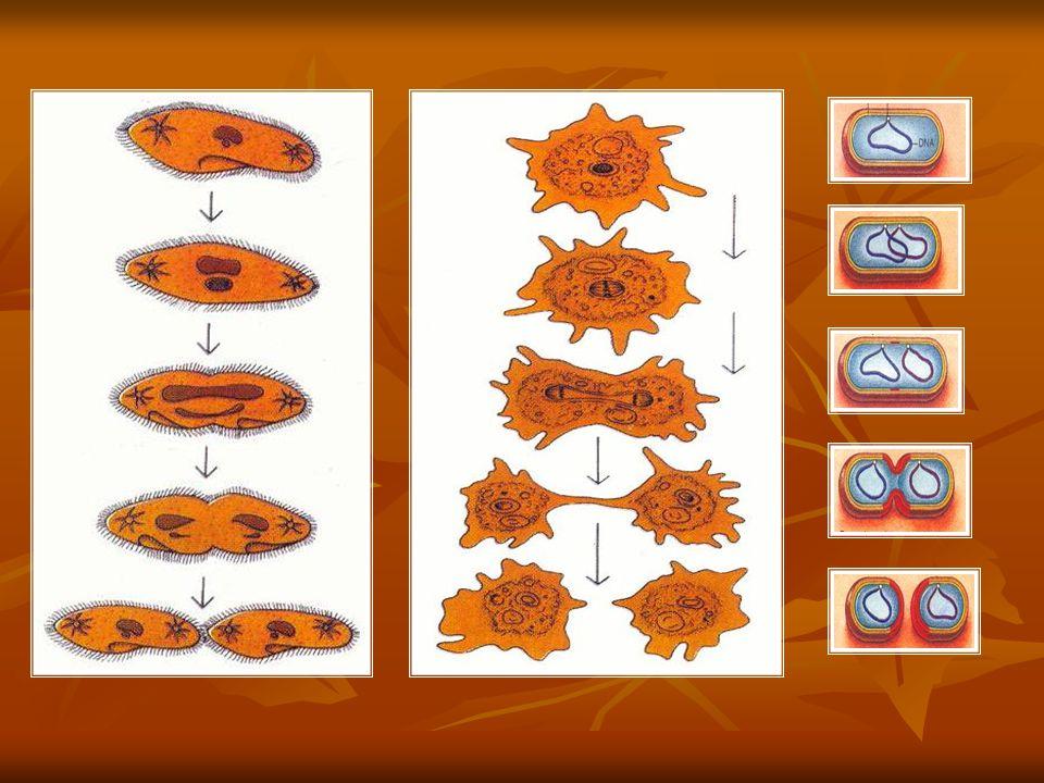 B) Tomurcuklanarak Üreme : Ana canlının bir kısmında hücre bölünmesiyle tomurcuk şeklinde çıkıntı oluşturur.Bu çıkıntı zamanla gelişerek yeni bir birey meydana getirir.Bu birey ana canlıya bağlı oluşturabileceği gibi bağımsızda yaşayabilir.Maya mantarlarında,hidra,mercan ve bazı bitkilerde görülür.