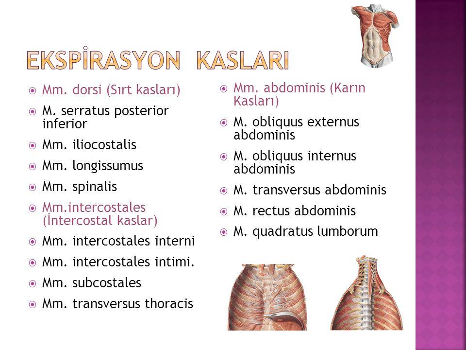  Mm. dorsi (Sırt kasları)  M. serratus posterior inferior  Mm. iliocostalis  Mm. longissumus  Mm. spinalis  Mm.intercostales (İntercostal kaslar