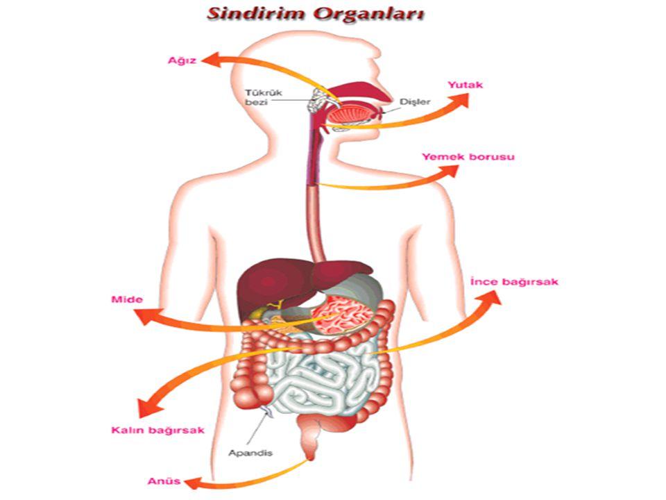 Besinler sindirim sistemine ağız yardımı ile alınır.Burada büyük parçalar halinde alınan yiyecekler dişler tarafından öğütülür ve tükrük bezinin salgıları yardımı ile yumuşatılır.