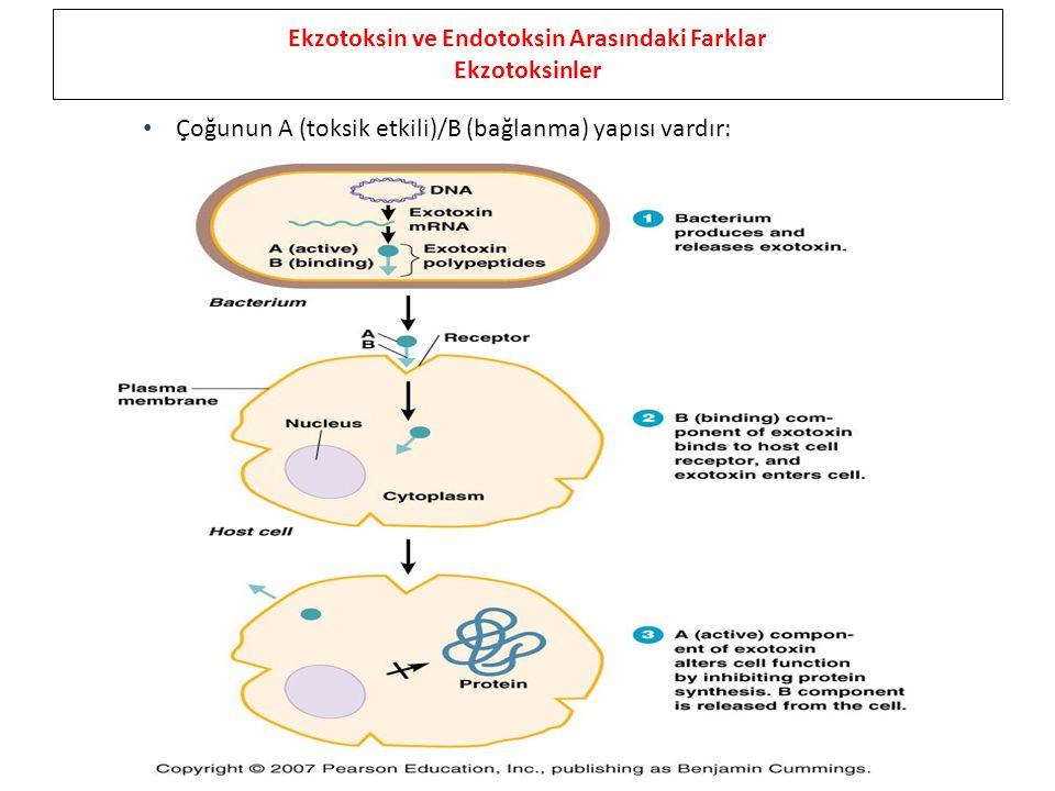 Ekzotoksin ve Endotoksin Arasındaki Farklar Ekzotoksinler Çoğunun A (toksik etkili)/B (bağlanma) yapısı vardır: