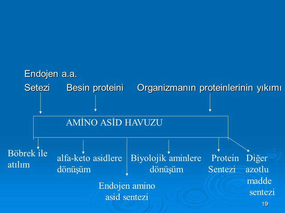 19 Endojen a.a. Setezi Besin proteini Organizmanın proteinlerinin yıkımı Böbrek ile atılım alfa-keto asidlere dönüşüm Biyolojik aminlere Protein Diğer