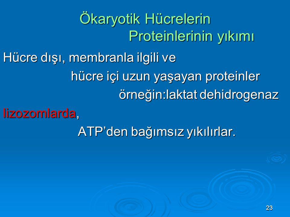 23 Ökaryotik Hücrelerin Proteinlerinin yıkımı Hücre dışı, membranla ilgili ve hücre içi uzun yaşayan proteinler hücre içi uzun yaşayan proteinler örne
