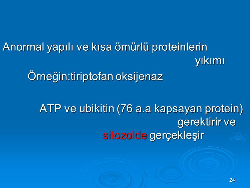 24 Anormal yapılı ve kısa ömürlü proteinlerin yıkımı Örneğin:tiriptofan oksijenaz ATP ve ubikitin (76 a.a kapsayan protein) gerektirir ve sitozolde ge