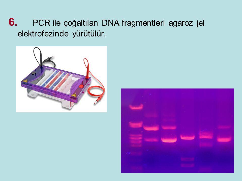 6. PCR ile çoğaltılan DNA fragmentleri agaroz jel elektrofezinde yürütülür.